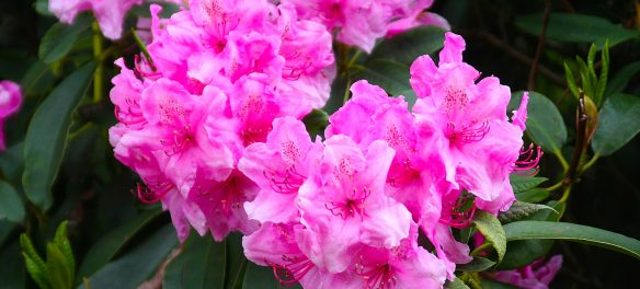 Florence Rhododendron Festival 2017
